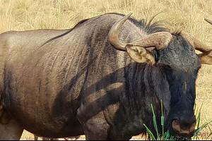 Wildebees2